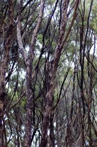 TeaTreeforest