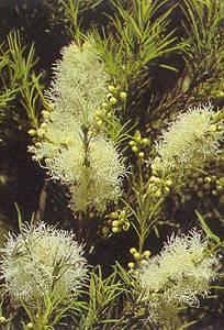 Tea Tree Blossoms