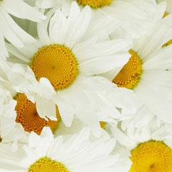 chamomile.jpg