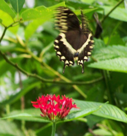 swallowtail at SCEEC