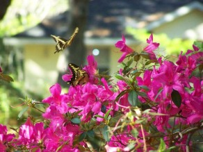 azaleas and swallowtails