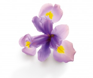 Essential Oil of Iris is a rare and rejuvenating delight. Tuscan Iris from Florence is a majestic perennial plant with a rhizome and large spring flowers which give off a sophisticated fragrance. Initially classified as a lily, like all herbaceous plants with large flowers, this flower gained noble status in the XIIth century when it became the emblem of the kings of France. Iris was first used in perfumery in the XVIIth century, its rhizome, an excellent fixative and aromatic reservoir, is ground to obtain a violet-fragranced powder with cleansing properties for the skin and hair. The many benefits of Iris have also been exploited in cosmetics. In particular, this precious oil is derived from its rhizomes: Iris Essential Oil (Concrete). Astringent and moisturizing, Essential Oil of Iris has toning and stimulating properties, a real natural rejuvenating delight.